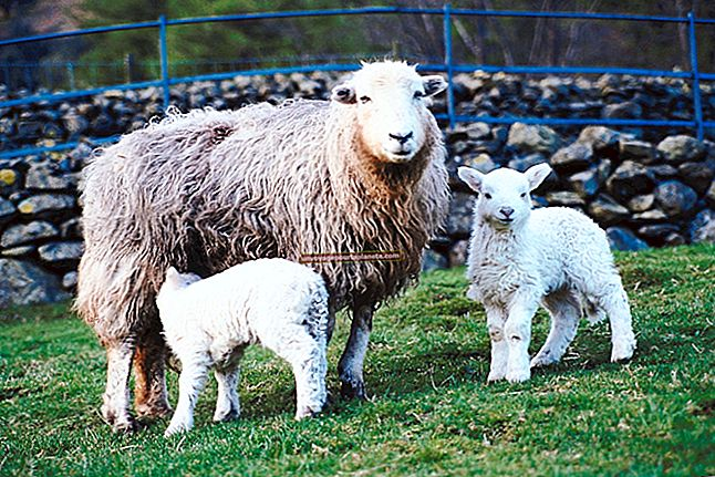 Como criar ovelhas em uma pequena área para obter lucro